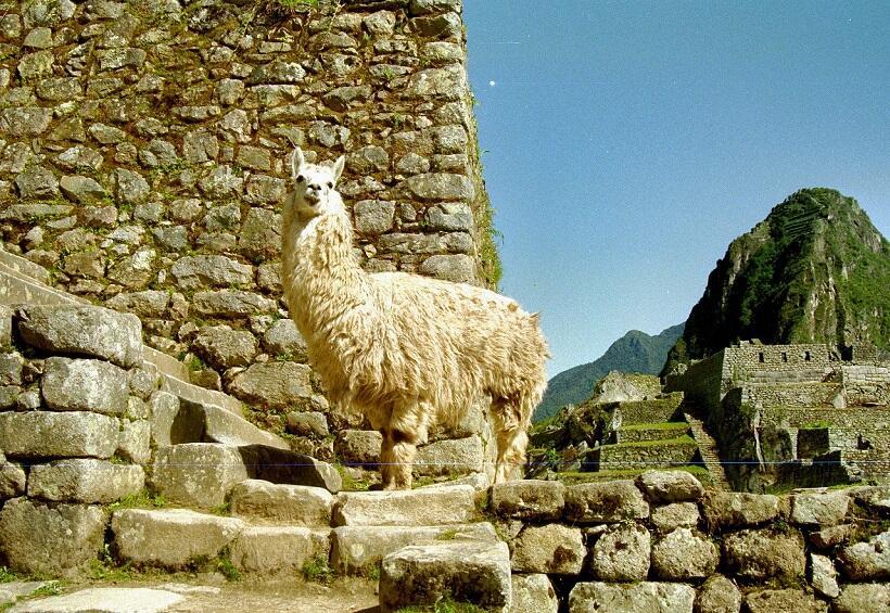 マチュピチュ遺跡で見かけた、南米アンデス地方に多く住む動物リャマ