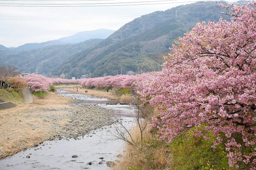 例年2月上旬から咲き始める河津町の河津桜