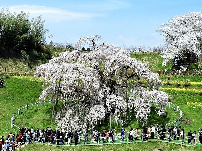 東北桜巡礼(1)1番札所・三春滝桜から20番札所・花見山へ