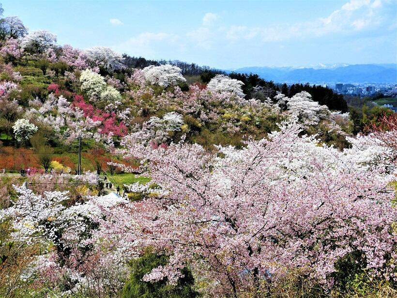 花見山は桜だけでなく多種多様な花木で覆われており、色のコントラストが美しい