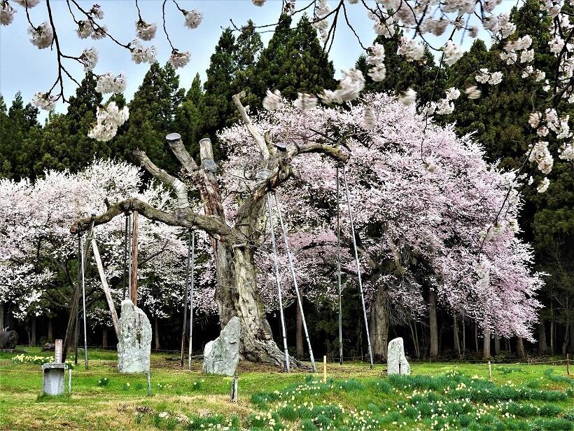 釜の越農村公園で、後方の子孫の花が、手前の古木に咲いているように見える写真