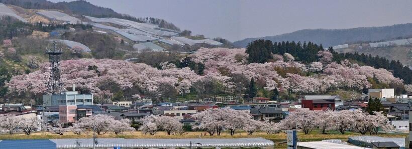 烏帽子山公園はエドヒガンザクラの群生地。山全体がピンクに染まる様子はまるで絵巻物