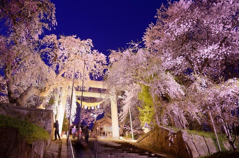 石造りの大鳥居とシダレザクラがライトアップで美しく浮かび上がる