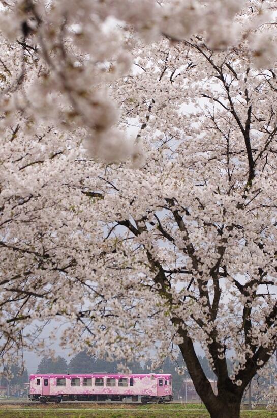 白兎(しろうさぎ)-蚕桑(こぐわ)駅間を走る「桜」ラッピング車両(写真/山形鉄道)
