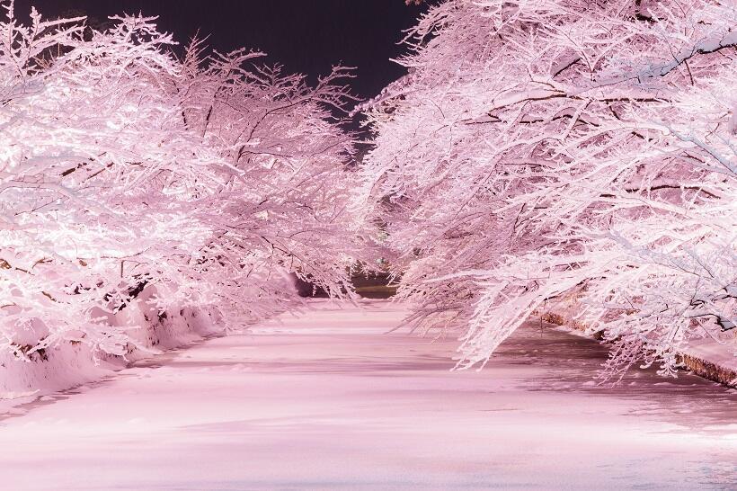 たびよみ目線 弘前公園の冬のさくら