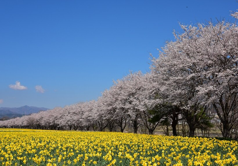 見渡す一面の花畑(写真/東吾妻町)
