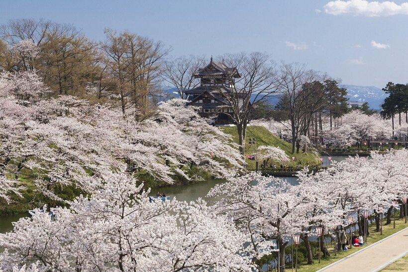ソメイヨシノに彩られる高田城三重櫓(写真/上越観光コンベンション協会)