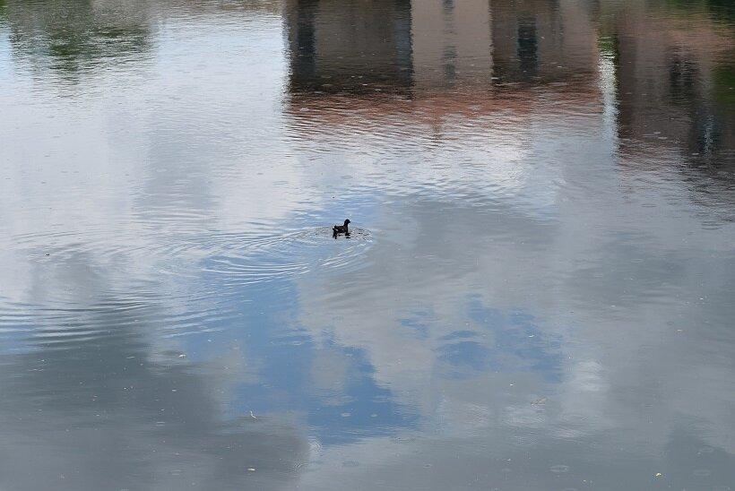 川を水鳥が泳ぐ