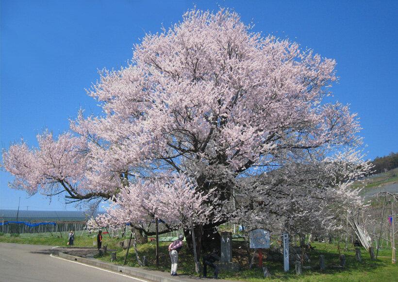 一本桜の名木と、リンゴの花々が迎える 信州やまのうち