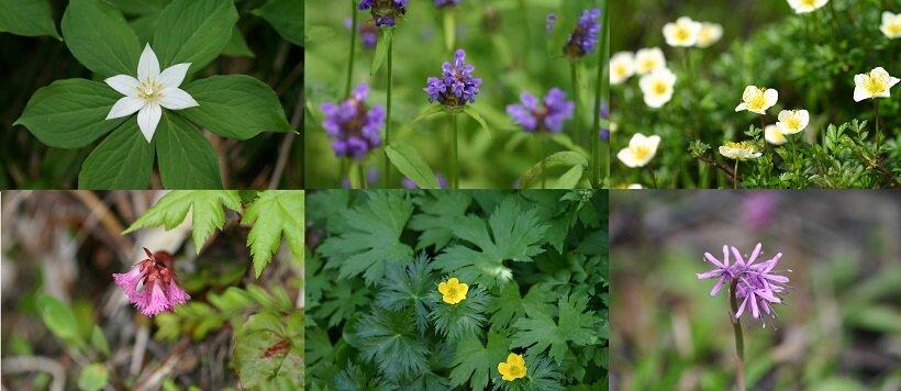 栂池自然園の初夏~夏の花