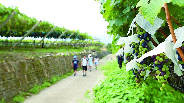 葡萄畑が織りなす風景