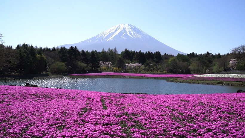 富士山を彩る芝桜の花景色