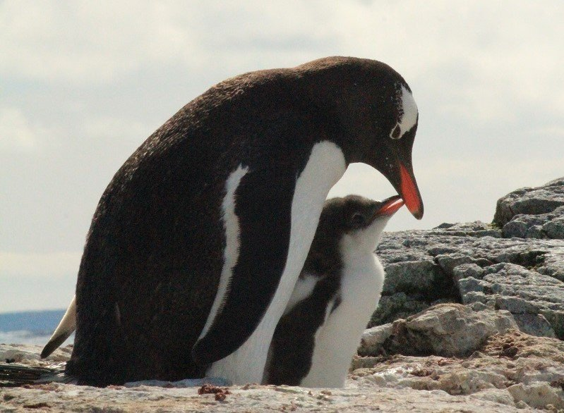 【おうちで南極体験】極地の動物を底辺で支えるアイス・アルジー――南極の生物の不思議物語